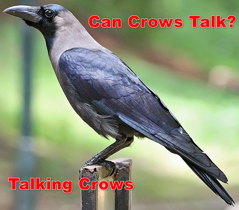 can crows talk